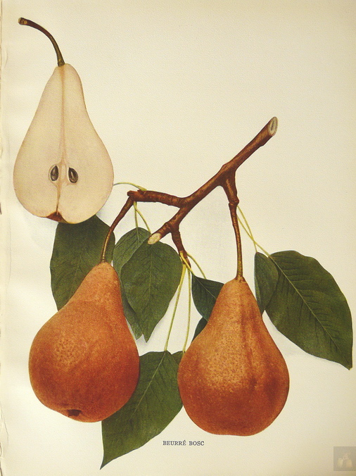 PEARS OF NEW YORK - U.P. HEDRICK - 1921